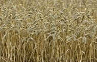 الزراعة : إستهداف زراعة 710 الف فدان من القمح للموسم الزراعي  2018 ــ 2019م