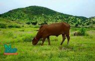 منتجون وتجار ماشية  يتجهون لتقديم شكوي لمجلس الوزراء والسيادي