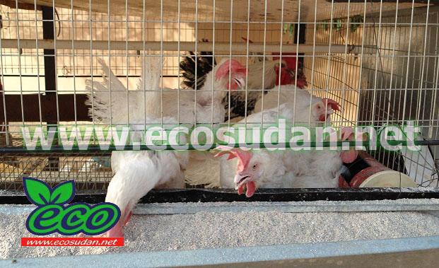 كيف اجتمعت دجاجات على قتل ثعلب؟