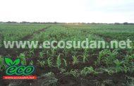 السودان : الذرة يقفز لـ 15 الف جنيه