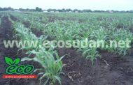 السودان : الموسم الزراعي الصيفي يبشر بانتاجية عالية والشتوي يسير بصورة جيدة