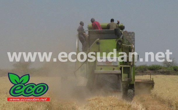 السودان :تحالف المزارعين يحذر من حرق مخزون القمح بالجزيرة وينتقد البنك الزراعي