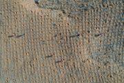 زراعة نبات الرمل للحد من التصحر في منطقة منغوليا بشمال الصين