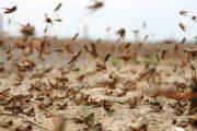 جراد صحراوي في الإمارات الشمالية... و«البيئة»: خطة منهجية لمواجهته
