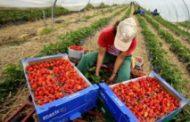 عاملات الفراولة المغربيات بين خطر كورونا ومعاناة الترحيل من إسبانيا