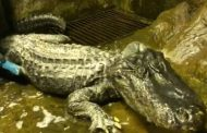 وفاة التمساح زحل الذي نجا من قصف برلين في الحرب العالمية الثانية