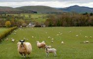 أغلى خروف في العالم يفوق سعره ثمن سيارة فيراري (صور)