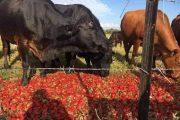 مزارعون يحولون 6 محاصيل كعلف للماشية بعد انهيار الأسعار