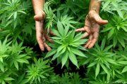 المغرب: مساع للسماح بتقنين زراعة وتصدير وبيع القنب الهندي للاستخدام الطبي