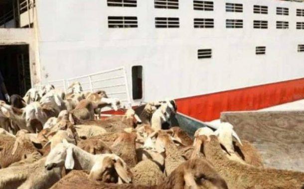 توقعات سعودية بارتفاع حصيلة الماشية السودانية ل(500 ) مليون ريال